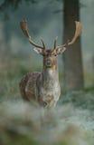 Damherten Royalty-vrije Stock Foto's