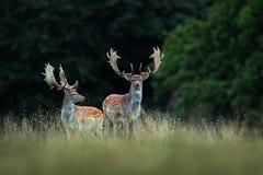 Damherten, Dama-dama, blaasbalg majestueus krachtig volwassen dier in de herfstbos, Dyrehave, Denemarken royalty-vrije stock afbeelding