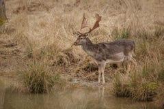 Damherten door water Royalty-vrije Stock Foto