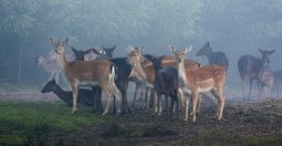 Damherten in vroeg ochtendlicht Royalty-vrije Stock Foto