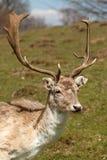 Damhertenbok Royalty-vrije Stock Afbeeldingen