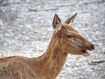 Damhertenhorloge in de camera Oud stevig dier stock afbeeldingen