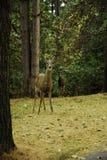 Damhinde, een Hert. Royalty-vrije Stock Foto's