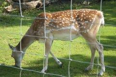 Damhinde, een Vrouwelijk Hert Stock Foto