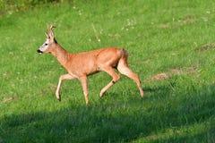 Damhinde en deers op weide het weiden Stock Foto's
