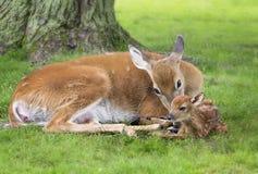 Damhinde en pasgeboren fawn Stock Foto's