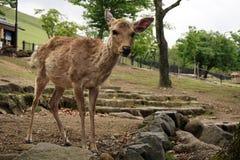 Damhinde in het park van Nara Stock Afbeelding