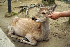 Damhinde in het park van Nara door de mens wordt gepord die Royalty-vrije Stock Foto's