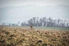 Damhinde het voeden op het gebied in de winter met groot sneeuwheuvelsbergen en dorp met toren op achtergrond Damhindeherten die  Royalty-vrije Stock Fotografie