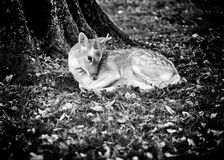 Damhinde onder een boom Stock Afbeeldingen