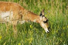 Damhinde van de Pronghorn` de Amerikaanse Antilope ` in Custer State Park royalty-vrije stock foto
