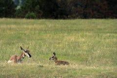 Damhinde van de Pronghorn` de Amerikaanse Antilope ` met Fawn stock foto's