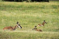 Damhinde van de Pronghorn` de Amerikaanse Antilope ` met Fawns stock afbeeldingen
