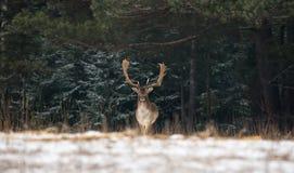 Damhirsch-Mann in der Landschaft Winter-Schnee-Forest Panoramic Artistic Winter Christmas-wild lebender Tiere mit Daniel Dama Dam lizenzfreies stockfoto
