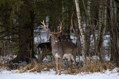Damhirschdollar Majestätische starke erwachsene Damhirsche, Dama Dama, im Winter-Wald, Weißrussland Szene der wild lebenden Tiere lizenzfreie stockfotografie