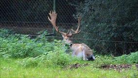 Damhirsche, die in einem Park der wild lebenden Tiere liegen stock video footage