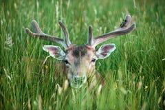 Damhirsche, die im Gras, BRITISCHER Dama Dama, Großbritannien sich verstecken lizenzfreie stockfotografie