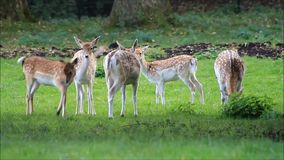 Damhirsche in einem Park der wild lebenden Tiere stock video