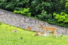 Damhirsche im Park in der Abtei in Österreich Lizenzfreie Stockfotografie