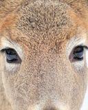 Damhirschkuh-Augen lizenzfreies stockbild