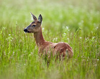 Damhirschkuh in einer Rasenfläche lizenzfreie stockfotografie