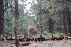 Damhirschkuh in Forest South von Williams AZ lizenzfreie stockfotos