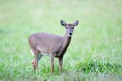 Damhirschkuh im Gras Lizenzfreie Stockfotos