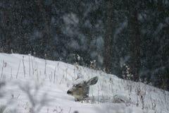 Damhirschkuh im Schnee stockbild