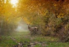 Damhirschkuh im Wald lizenzfreie stockbilder