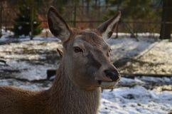 Damhirschkuh im Winter Lizenzfreie Stockfotos