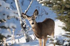 Damhirschkuh-Maultierhirsche im Schnee stockfotografie