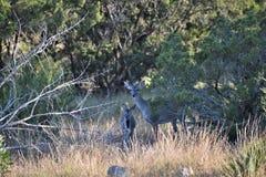 Damhirschkuh-Rotwild des weißen Schwanzes Stockfoto
