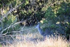 Damhirschkuh-Rotwild des weißen Schwanzes Lizenzfreies Stockfoto