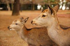Damhirschkuh und Kitz bei Nara Central Park Stockfotografie