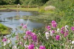 Damm drog tillbaka rosa vildblommablomningar Royaltyfri Fotografi