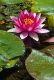 damm för 3 blommalotusblommar Royaltyfria Foton