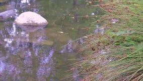 Damm med dekorativt gräs stock video
