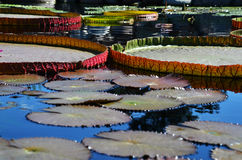 Damm med liljablock Arkivbilder
