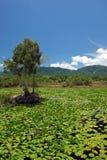 Damm med liljor Arkivbild