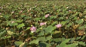 Lotusblommablommor Arkivfoton