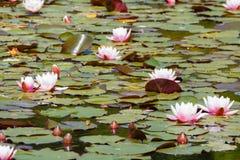 Damm med näckros Royaltyfri Foto