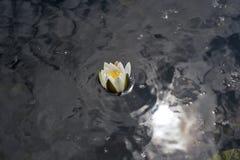 Damm med vatten lilly Fotografering för Bildbyråer