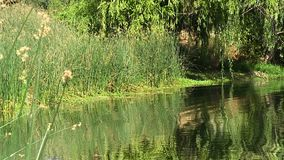 Damm och kust med gröna vasser och trädet arkivfilmer