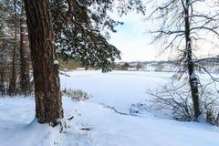 Damm som täckas med frost på pinjeskogen Arkivfoto