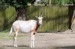Dammah för den oryxantilopdamascus oryxantilopet står på en catwalk mot ett suddigt trästaket royaltyfri fotografi