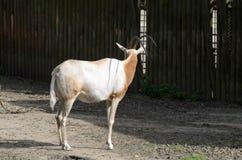 Dammah för den oryxantilopdamascus oryxantilopet står på en catwalk mot ett suddigt trästaket arkivbilder
