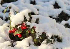 Dammeri кизильника в съемке макроса зимы Стоковое Изображение RF