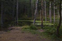 Dammet av näckrors i sommar arkivbild