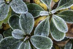 Damning av frost på azaleakronblad Arkivfoto