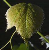 Damp grape leaf Stock Photo